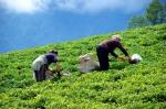 Çay toplama zamanı