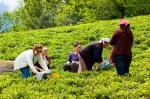 Çay toplamanın incelikleri öğreniliyor