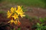 Kafaksör Yaylası florasından