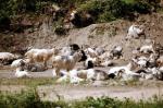 Keçiler yol verip dinlenmeye çekildiler