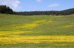 Göle yakınlarında sarı papatyalar