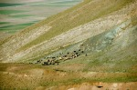 Yamaçta keçi sürüleri. Nuh'un Gemisi kalıntısının bulunduğu yerde.