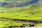Tendürek yolunda koyun sürüleri